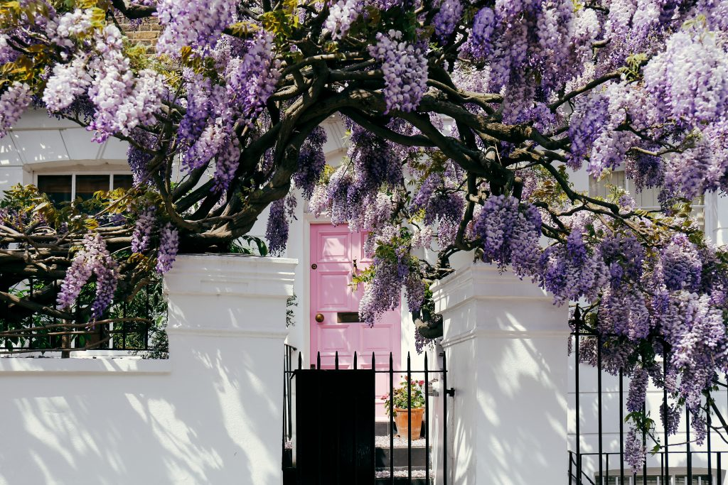 Blossoming wisteria tree covering up a facade of a house in Notting Hill, London