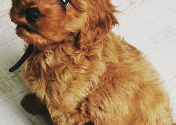 Lola red Cavapoo 2