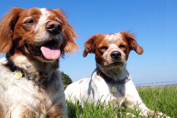 Simon dogs