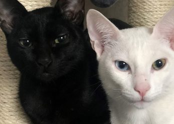 white & black cat